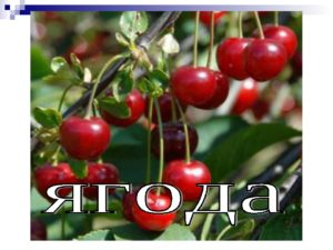 Steppe cherry (photo) varieties and reviews about them. Landing and care