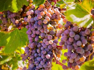 Which land is best for growing grapes