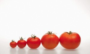 The best varieties of tomatoes for salting, eating, the largest and smallest