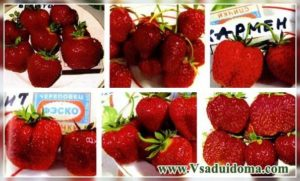Large-fruited strawberry: varieties and care all year round