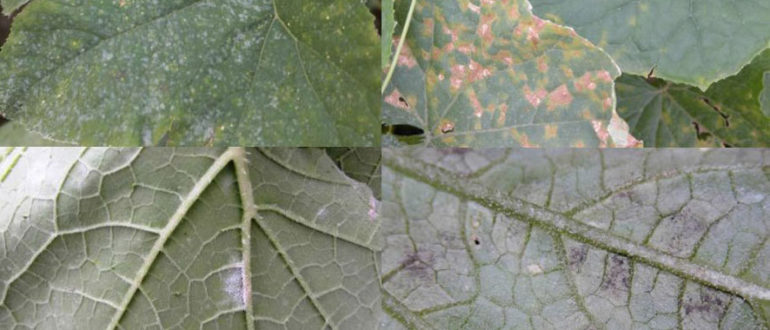 Powdery mildew on cucumbers - how to deal with folk remedies and chemistry